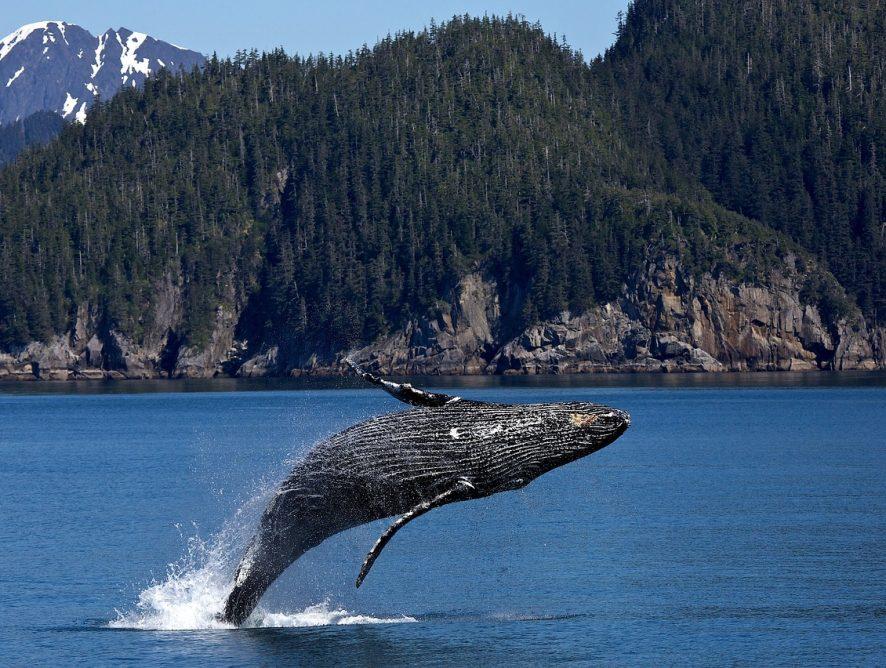 Le Canada investit dans des initiatives scientifiques pour protéger les baleines