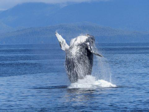 Un algorithme pour repérer les baleines