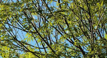 L'agrile du frêne étatsunienne, une manne pour GDG Environnement