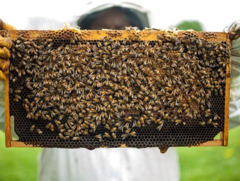 Un capteur intelligent s'immisce parmi les abeilles