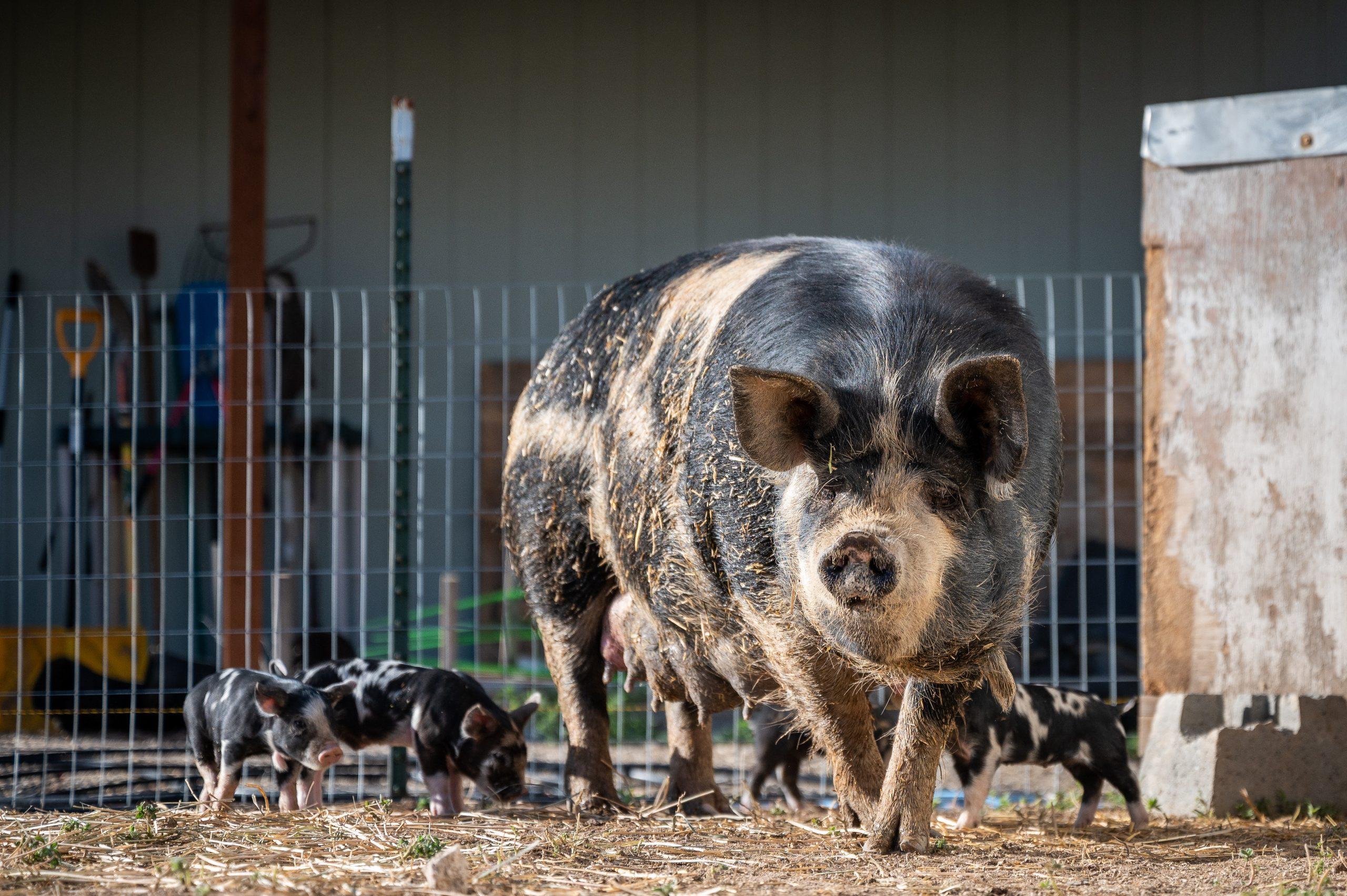 L'IA permet d'améliorer la productivité en agroalimentaire, incluant dans l'industrie porcine. Crédit Photo: Pexels/Brett Sayles